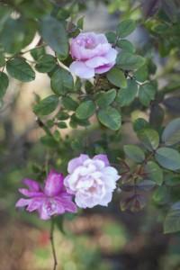Rose2_4328